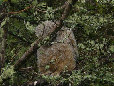 Great Horned Owl family 7