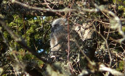 Great Horned owl family 1