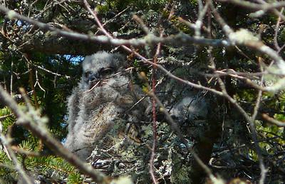 Great horned owl family 2