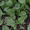 Spinach, up to snuff.