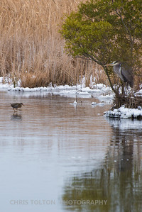 Great Blue Heron Watches King Rail Crossing the Ice
