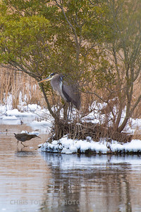King Rail Reaches his Friend the Great Blue Heron