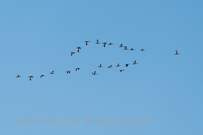 Snow Geese Flying Over Back Bay