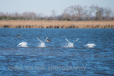 Tundra Swans in Perfect Formation