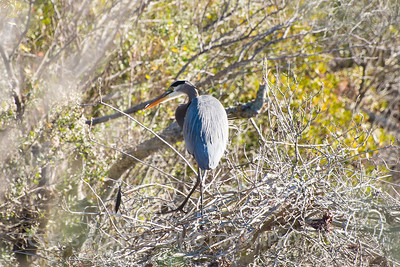 Great Blue Heron Turning
