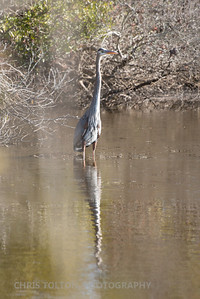 Great Blue Heron Thru the Reeds