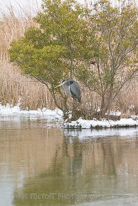 BLUE HERON OVER ICE