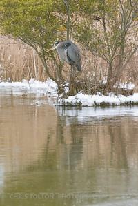Great Blue Heron's Reflection on Ice
