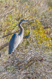 Great Blue Heron in His Favorite Tree