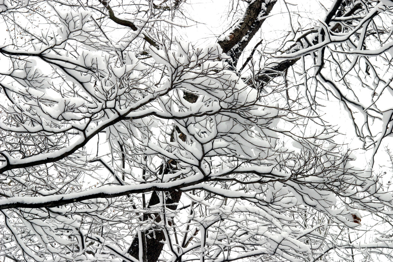 Snowy Trees Behind The 7th Fairway