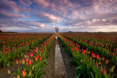 tulips with lone tree - Washington