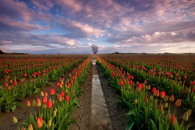 tulips with lone tree - Washington