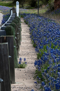 Bluebonnets along Hwy 16 near Llano, Texas