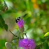Bumble on Thistle 1