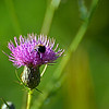 Bumble on Thistle #2