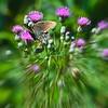 Swallowtail on Thistle #2