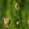 Queen Anne's Lace Pods