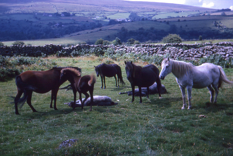 """Probably somewhere Exmoor National Park, which is famous for its ponies grazing semi-wild on the moorland: <br /> <br /> <a href=""""http://www.exmoor-nationalpark.gov.uk/index/learning_about/wildlife/exmoor_pony.htm"""">http://www.exmoor-nationalpark.gov.uk/index/learning_about/wildlife/exmoor_pony.htm</a><br /> <br /> <br /> <br /> Taken by my Grandmother on a Europe and the UK trip Sep 1966.<br /> <br /> <br /> <br /> © Phyllis Marjorie Graham Collection"""
