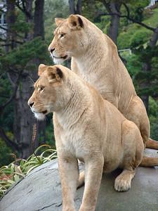 Lions Wellington Zoo