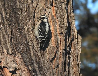 Downey Woodpecker (female)