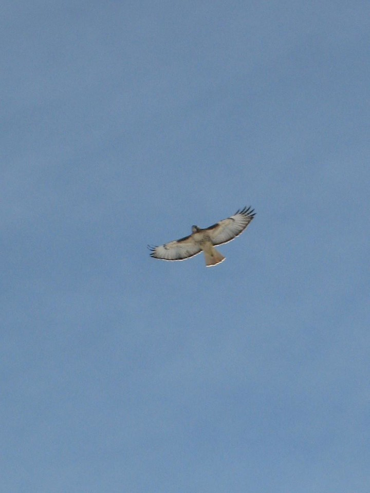 Oh, and we were visited by this red tail hawk.