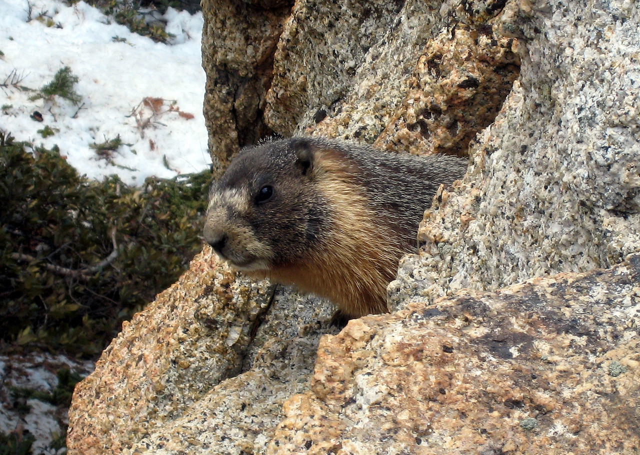 A friendly Marmot.