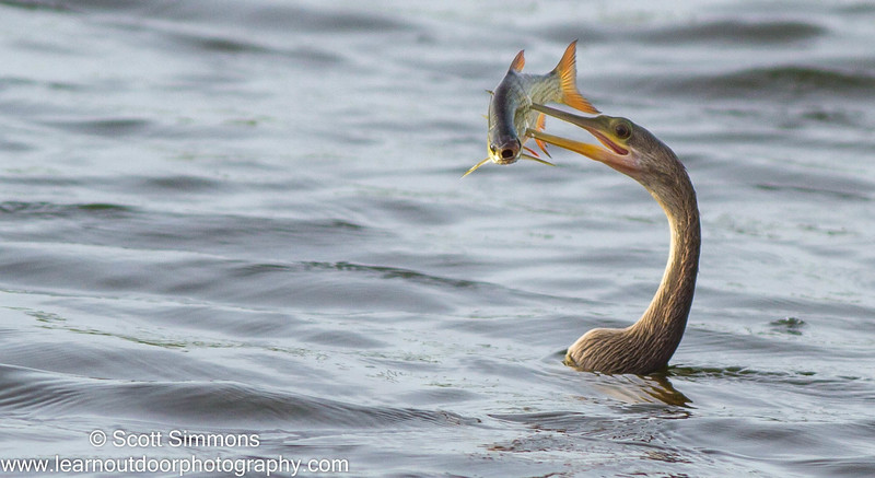 Anhinga and a Fish Having a Bad Day