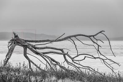 Giant Driftwood