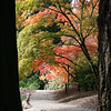 Japanese Maples