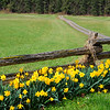 Daffodils at the Fence