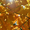 Orange Leaves-CU-Lens Flare