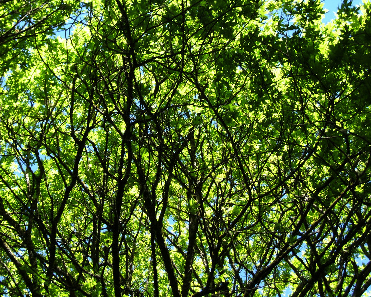 Forest Canopy-02