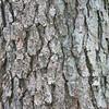 bark texture of pine tree