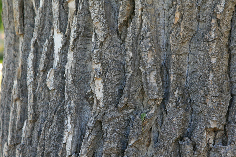 Rough textured bark of large tree