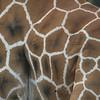 Giraffe's hide