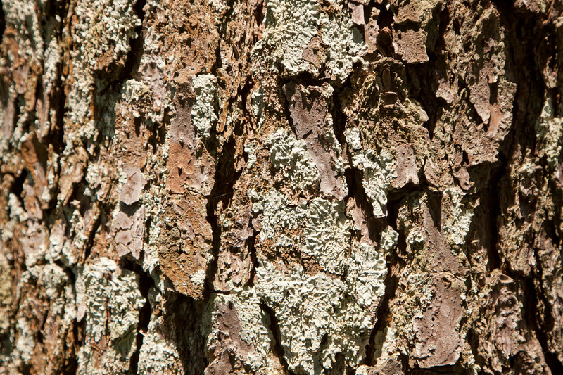 Pine Bark_SS2709