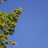 Maple and blue sky_SS129285