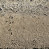 mud texture with deer tracks