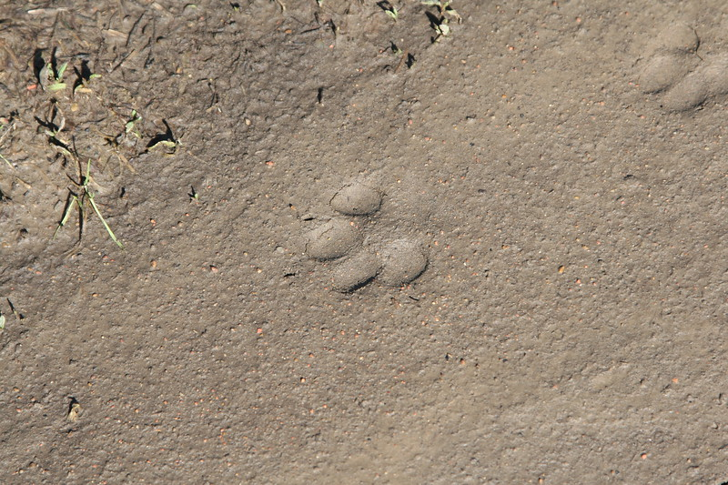 animal paw print in the dried mud