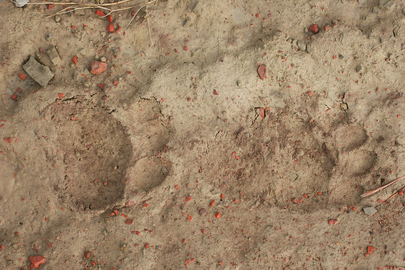 Bear tracks_RS84311
