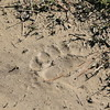 bear track in the dried mud