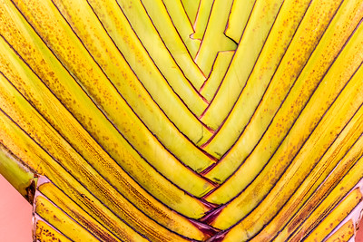 Background, texture, abstract, traveler's palm, Lagos, Nigeria,