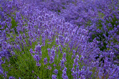 Profusion of lavender