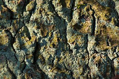 Lichen encrusted oak bark