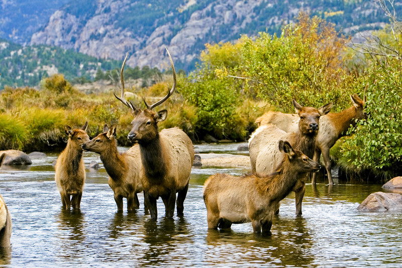 A resident herd of elk in Rocky Mountain National Park