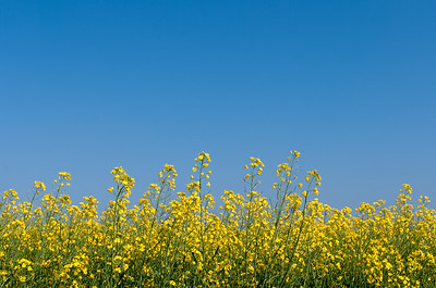 Oilseed rape and blue sky