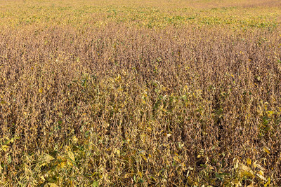 Soybean field, farm, background, abstract, food,