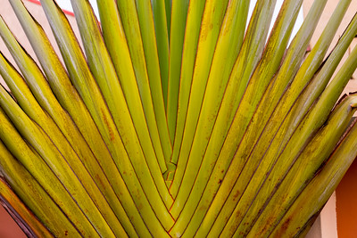 Background, fan palm, traveler's palm, texture, abstract, Lagos, Nigeria.