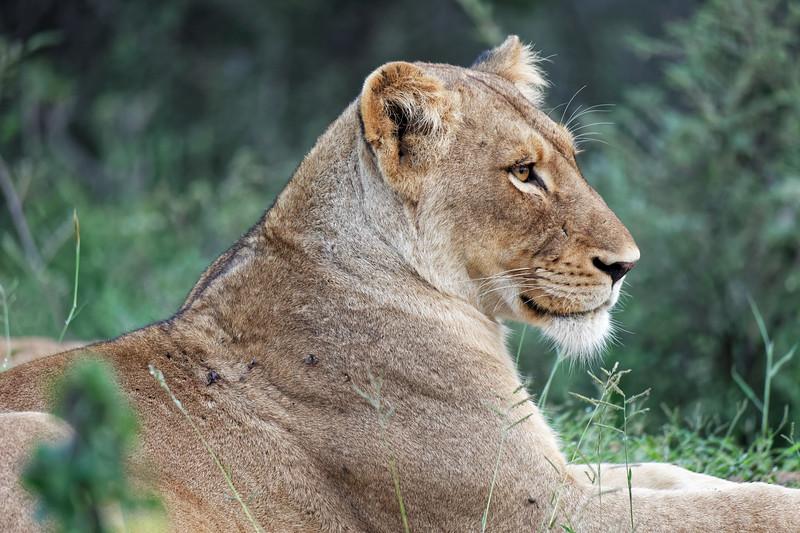 Queen cat, Klaserie Private Reserve, Greater Kruger National Park