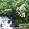 Blooming mountain laurel next to Wildcat Falls.